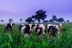 Vacas normandas fotografia de stock