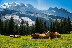Vacas nos alpes suíços fotos de stock royalty free