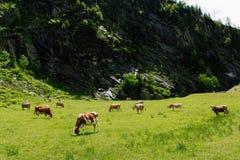 Vacas nos prados alpinos Fotografia de Stock