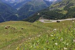 Vacas nos prados no Grossglockner Foto de Stock Royalty Free