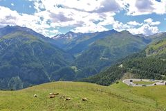 Vacas nos prados no Grossglockner Fotografia de Stock