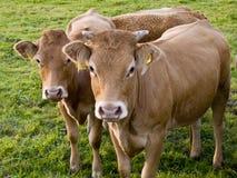 Vacas Nosy foto de archivo