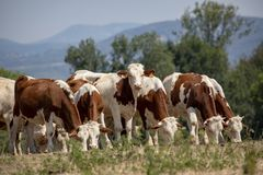 Vacas novas de Montbeliarde com os chifres pequenos que pastam em seguido fotos de stock