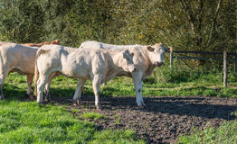Vacas novas que tomam sol na luz solar do amanhecer Imagens de Stock