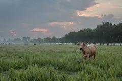 Vacas nubladas de la salida del sol y del pasto en pasto imagenes de archivo