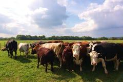 Vacas oídas hablar en el campo Imagen de archivo