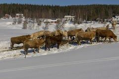 Vacas oídas hablar hacia fuera en la nieve en el invierno Imágenes de archivo libres de regalías