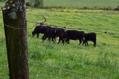 Vacas occidentales de la granja del NC que pastan detrás del alambre de púas imagen de archivo libre de regalías