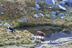 Vacas - parque nacional de Huascaran, Peru foto de stock
