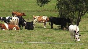 Vacas, pastos, pastando, granjas almacen de video
