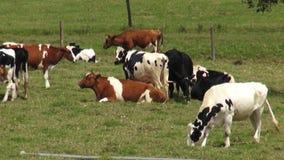 Vacas, pastos, pastando, granjas metrajes