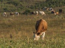 Vacas perto da vila de Likavka na manhã do verão Foto de Stock Royalty Free