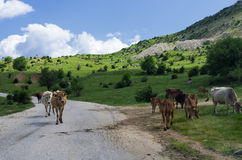 Vacas por el camino en el pueblo de Syrrako, Epirus, Grecia Foto de archivo libre de regalías