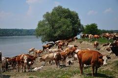 Vacas por el río Foto de archivo