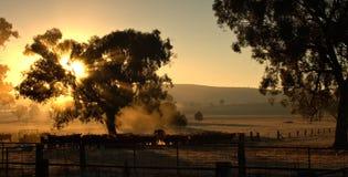 Vacas por la mañana Imagen de archivo