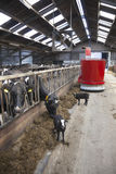 Vacas preto e branco na alimentação estável do robô de alimentação imagem de stock royalty free