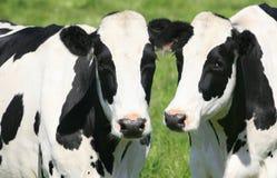 Vacas preto e branco no pasto Fotos de Stock Royalty Free