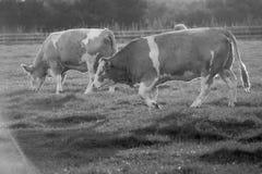 Vacas preto e branco que andam à esquerda Imagem de Stock