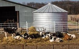 Vacas preto e branco que comem o feno ao relaxar na frente do celeiro e do silo pequeno, Nebraska imagens de stock