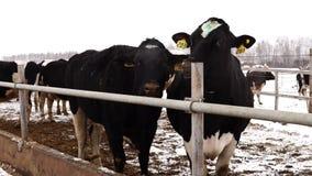 Vacas preto e branco sujas na exploração agrícola no inverno video estoque