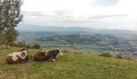 Vacas que admiram a vista fotografia de stock