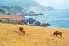 Vacas que alimentam em um pasto em Big Sur, Califórnia imagens de stock