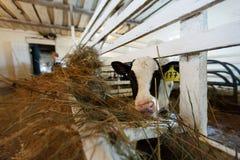 Vacas que alimentam no grande estábulo Foto de Stock