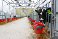 Vacas que alimentam no grande estábulo Imagem de Stock Royalty Free