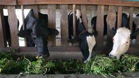 Vacas que alimentan en granja almacen de metraje de vídeo