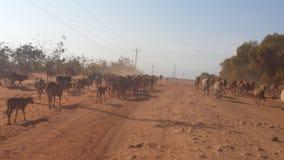 Vacas que andam abaixo da estrada Imagens de Stock