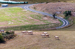 Vacas que andam em campos de Rennes le château fotos de stock royalty free
