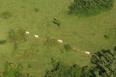 Vacas que andam em um trajeto do prado Imagens de Stock Royalty Free