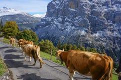 Vacas que andam na luz do sol da estrada dos prados com paisagem na neve Fotografia de Stock Royalty Free