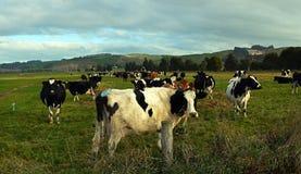 Vacas que apreciam a luz do sol do inverno do fim da tarde em Otago norte, NZ fotografia de stock royalty free
