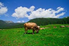 Vacas que comem a grama em um campo da montanha Imagens de Stock Royalty Free