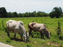 Vacas que comem a grama na borda da estrada no campo foto de stock royalty free