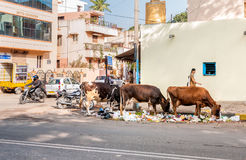 Vacas que comem na descarga de lixo do lado da estrada sobre em Bengaluru, cena urbana Imagens de Stock