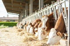 Vacas que comen el heno en establo Fotos de archivo