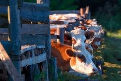 Vacas que comen ensilaje de sus alimentadores Fotografía de archivo libre de regalías