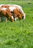 Vacas que comen la hierba Foto de archivo libre de regalías