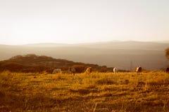 Vacas que comen la hierba en la colina en la puesta del sol imagen de archivo