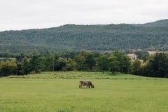 Vacas que comen la hierba en las montañas de los Pirineos foto de archivo libre de regalías