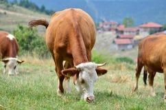 Vacas que comen la hierba en un campo Imágenes de archivo libres de regalías