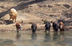 Vacas que consiguen una bebida en el río Foto de archivo