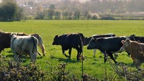 Vacas que correm em Sunny Field video estoque