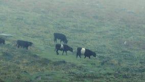 Vacas que cruzam o montanhês na chuva pesada video estoque