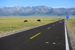 Vacas que cruzan el camino recto Imagen de archivo