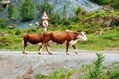 Vacas que cruzan las montañas de Altai del camino en Siberia fotografía de archivo libre de regalías