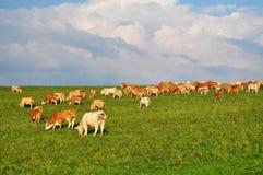 Vacas que cultivan agricultura Imagenes de archivo