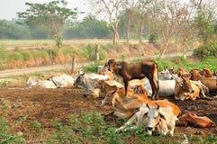 Vacas que descansam em um campo da agricultura Imagem de Stock